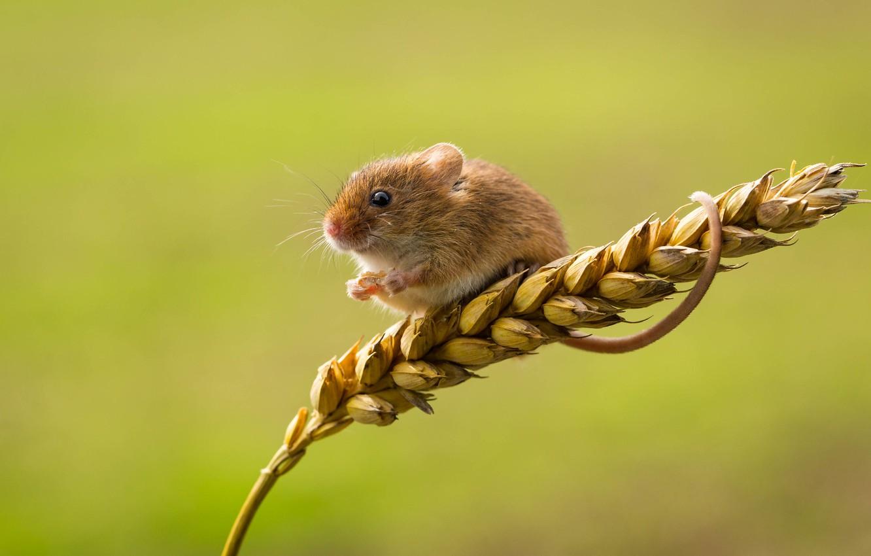 Фото обои мышка, колосок, малютка