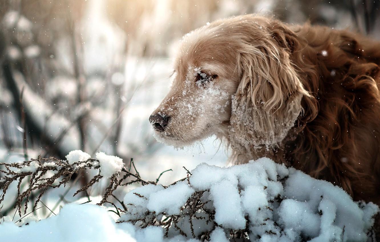 Фото обои зима, снег, ветки, природа, животное, собака, профиль, пёс, спаниель