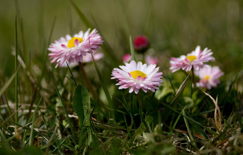 Фото обои трава, цветы, боке, маргаритки