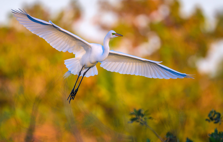 Фото обои птица, крылья, клюв, большая белая цапля