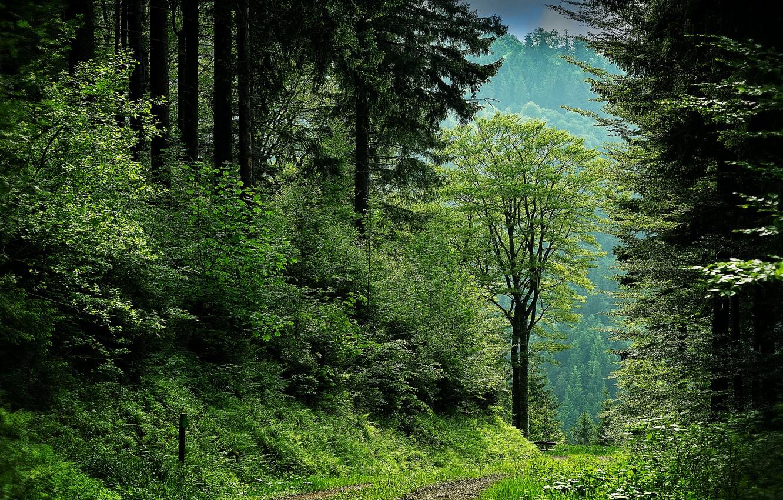 Фото обои зелень, лес, лето, деревья, ветки, природа, стволы, листва, сосны, кусты