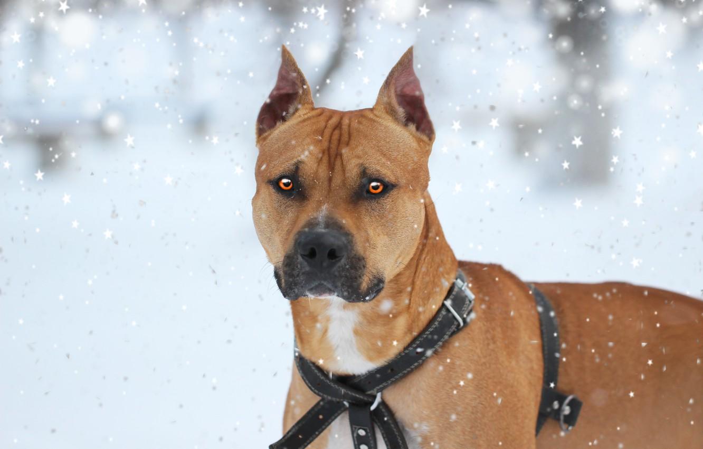 Фото обои зима, друг, собака, питбуль