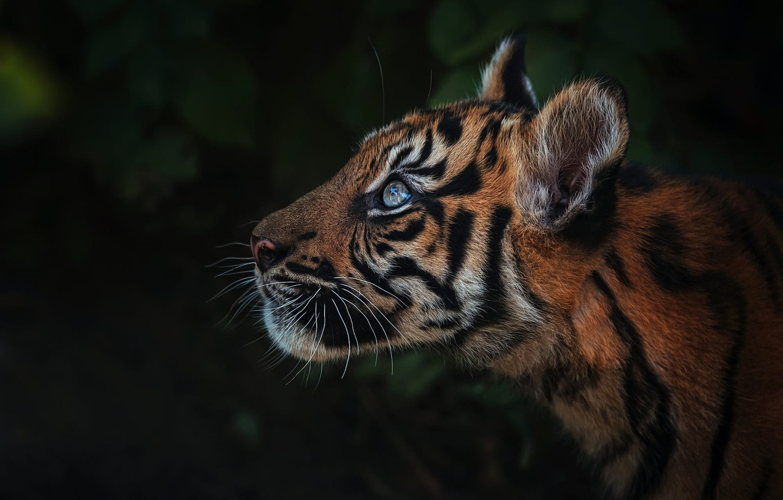 Фото обои взгляд, морда, листья, тигр, темный фон, портрет, тигренок, тигрёнок