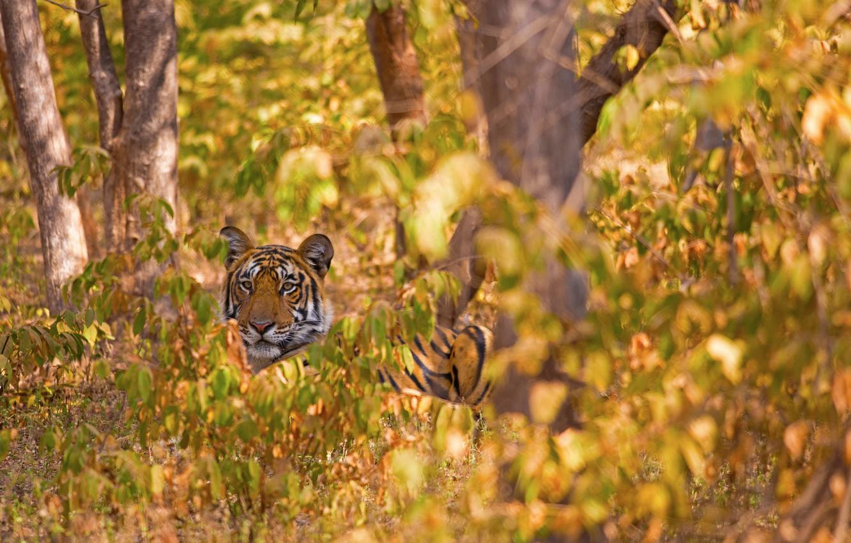 Фото обои лес, деревья, тигр, дикая кошка
