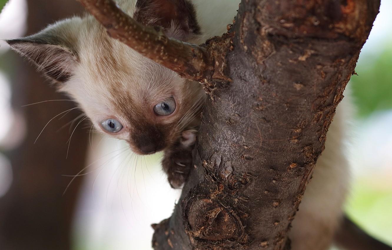 Фото обои дерево, малыш, котёнок, на дереве, Сиамская кошка