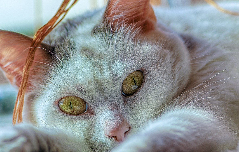 Фото обои кошка, глаза, взгляд, крупный план, мордочка, котейка