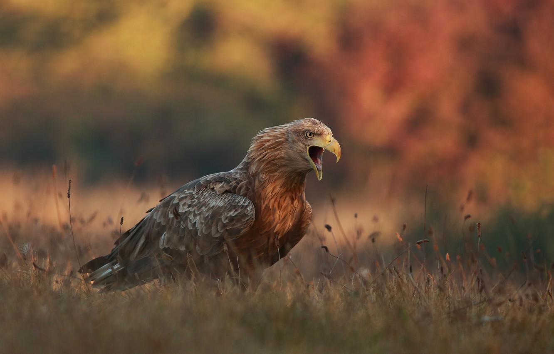 Фото обои осень, трава, природа, птица, хищник, орёл, крик, Łukasz Sokół