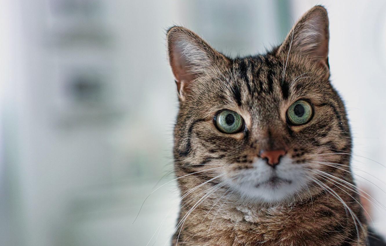 Фото обои кошка, кот, взгляд, фон, портрет, мордочка, зелёные глаза