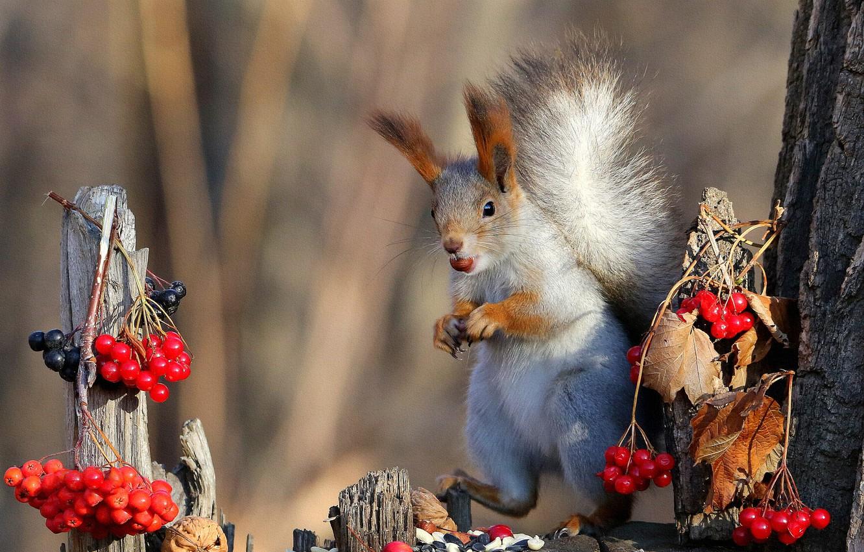 Фото обои природа, поза, ягоды, фон, дерево, белка, мордочка, орехи, стойка, калина, трапеза