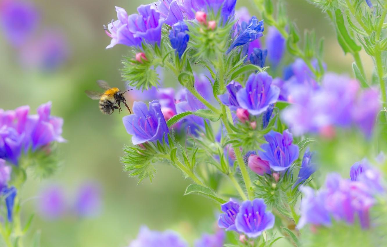 Фото обои макро, цветы, шмель