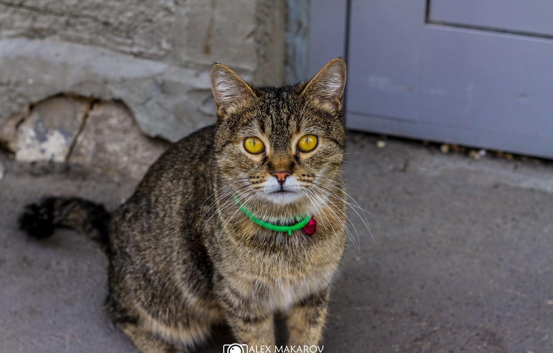 Фото обои кошка, кот, асфальт, улица, полосатый
