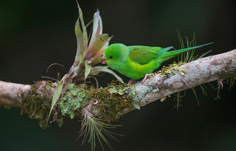 Фото обои фон, птица, ветка, попугай, Тирика