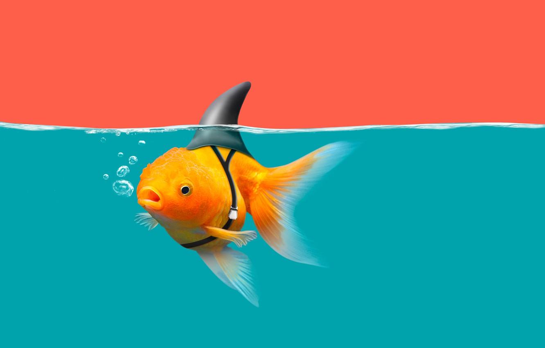 Фото обои water, goldfish, shark fin