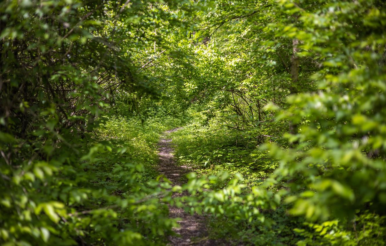 Фото обои зелень, лес, лето, деревья, природа, тропинка