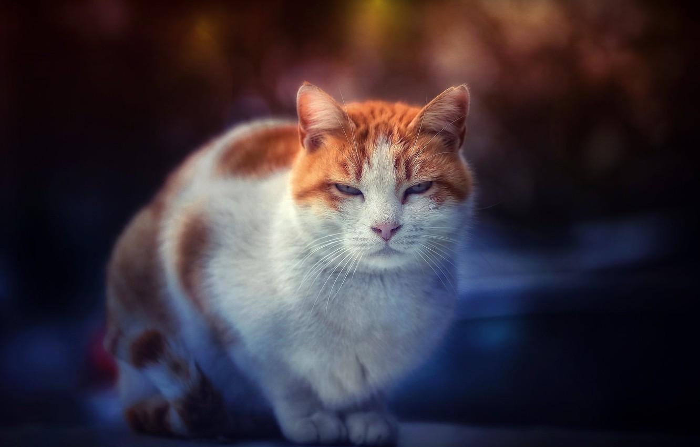 Фото обои кот, взгляд, мордочка, котэ, котейка