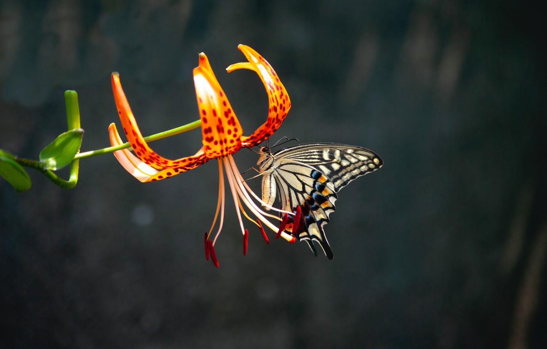 Фото обои цветок, макро, бабочка, flower, butterfly, macro, размытый фон, красота природы, blurred background, тигровая лилия, natural …
