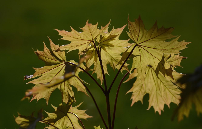 Фото обои свет, фон, весна, листья клена