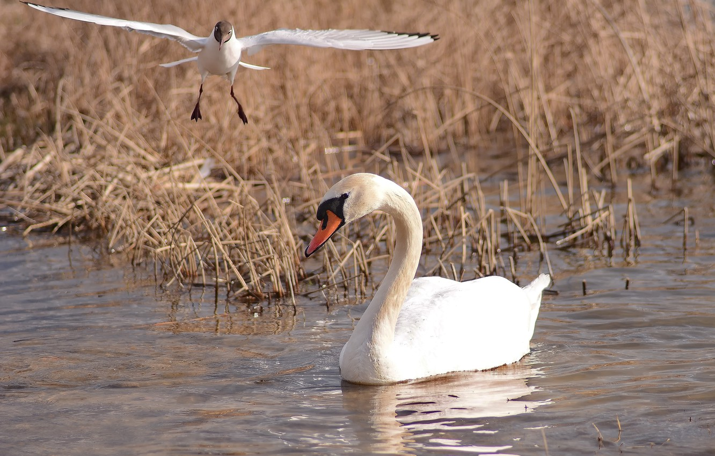 Фото обои взгляд, птицы, фотоохота, лебедь шипун, чайка в полете