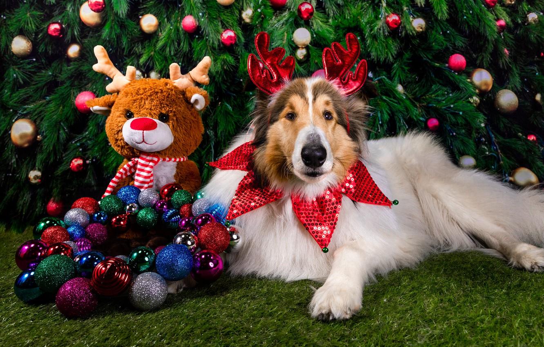 Фото обои шарики, украшения, праздник, игрушка, новый год, собака, олень, ёлка, пёс, ёлочные игрушки, колли