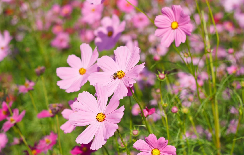 Фото обои поле, лето, цветы, colorful, луг, summer, розовые, field, pink, flowers, cosmos, meadow