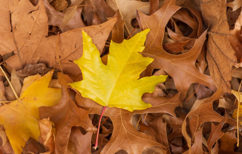 Фото обои осень, листья, фон, colorful, клен, yellow, autumn, leaves, maple