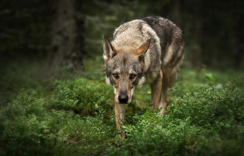 Фото обои лес, трава, взгляд, морда, листья, деревья, природа, поза, зеленый, темный фон, серый, фон, волк, портрет, …