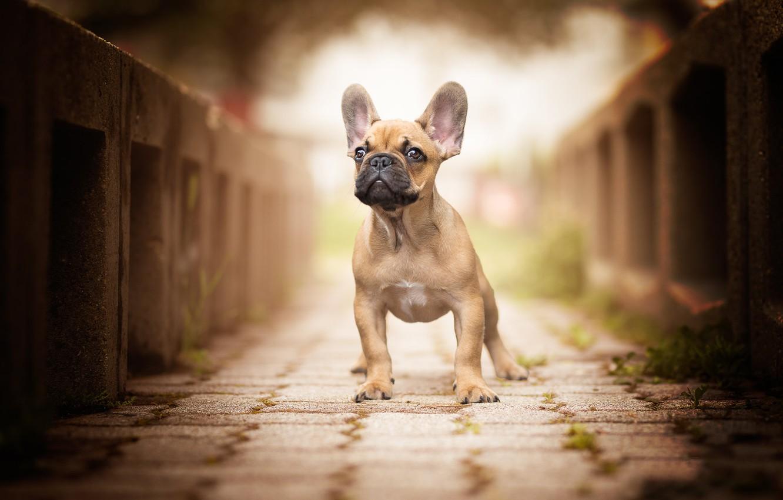 Фото обои мост, собака, уши, мордашка, боке, Французский бульдог