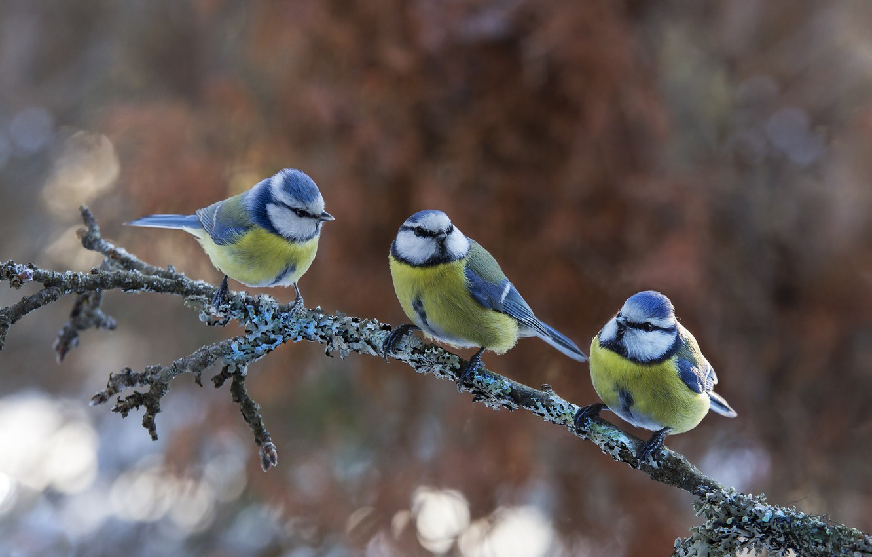 Фото обои птицы, природа, ветка, трио, боке, синицы, Atte Röyskö