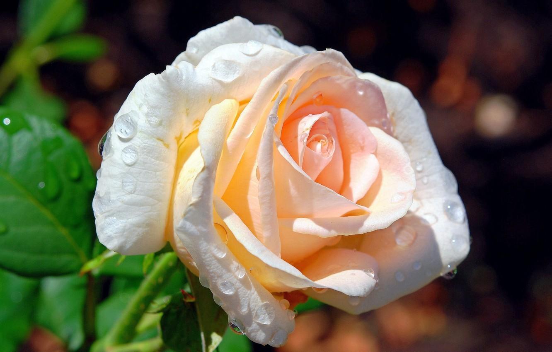 Фото обои капли, фон, роза