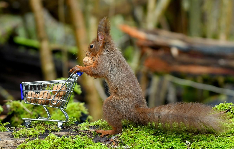 Обои орехи, покупки, тележка, Белка. Животные foto 7