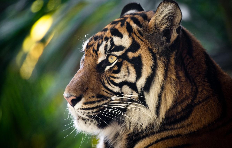 Фото обои морда, тигр, портрет, профиль, дикая кошка, боке