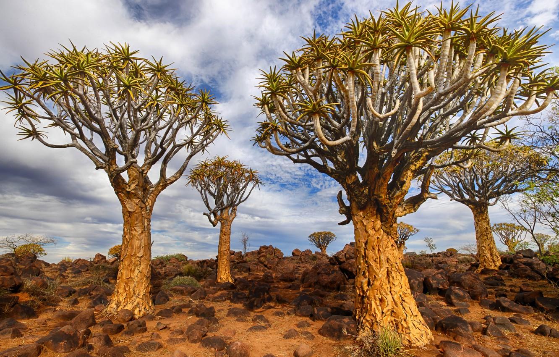 Обои Namibia, Quiver Tree, Keetmanshoop картинки на ...