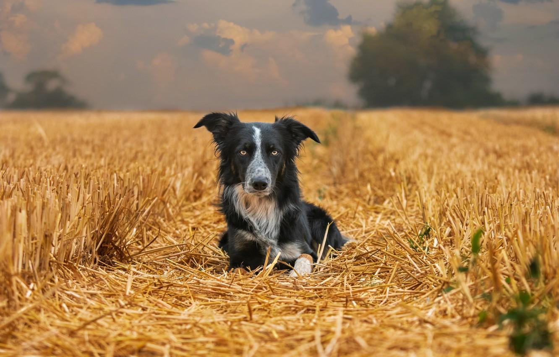 Фото обои поле, природа, собака, солома