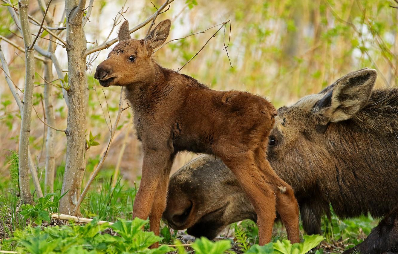 Фото обои лес, животные, природа, детёныш, лосиха, лосёнок