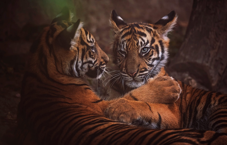 Фото обои взгляд, морда, природа, тигр, поза, темный фон, дерево, отдых, портрет, лапы, пара, котята, дикие кошки, …