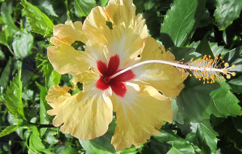 Фото обои flower, plant, blooming, hibiscus
