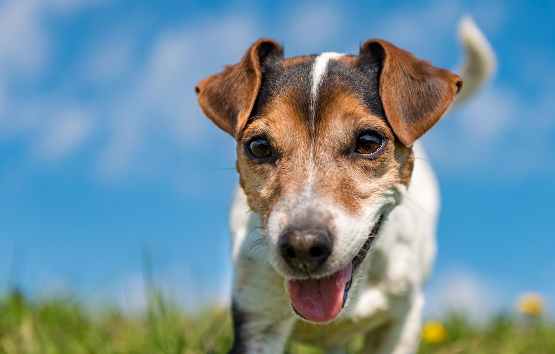 Фото обои dog, pet, head, tongue, cancan...