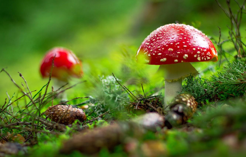 Фото обои лес, поляна, грибы, мухоморы, хвоя, шишки, боке