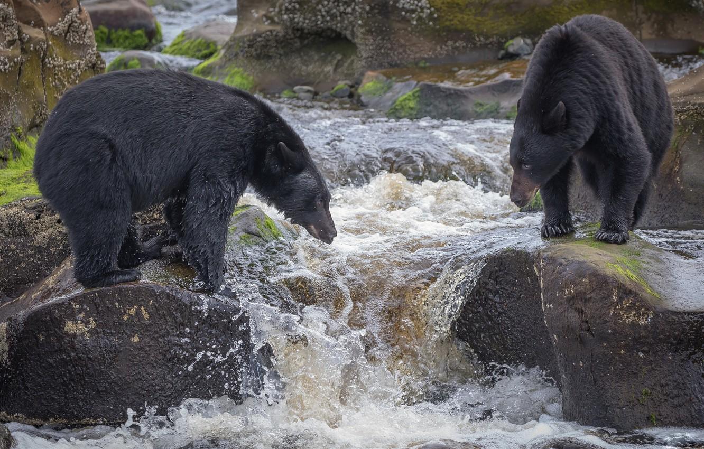 Фото обои река, рыбалка, медведи