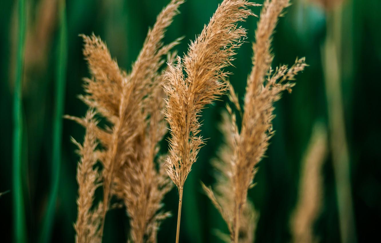 Фото обои трава, тростник, боке