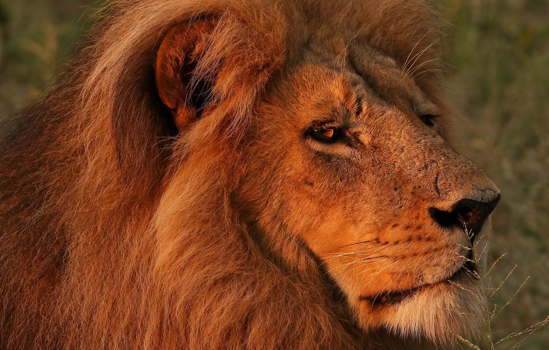 Обои портрет, морда, красавец, грива, кошки, дикие кошки, смотрит вверх, лев. Кошки foto 10