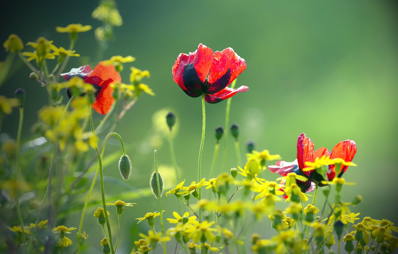 Фото обои размытый задний фон, красные маки, желтые цветочки