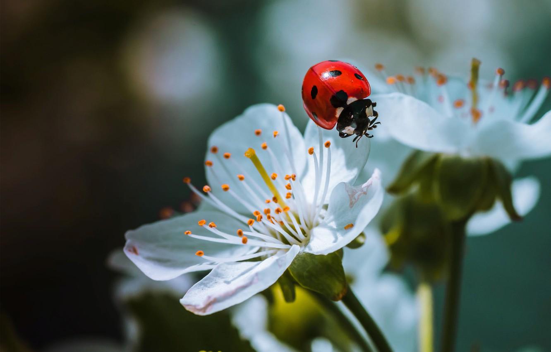Фото обои макро, природа, божья коровка, жук, весна, цветки
