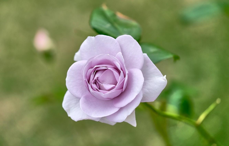 Фото обои роза, бутон, сиреневая, боке