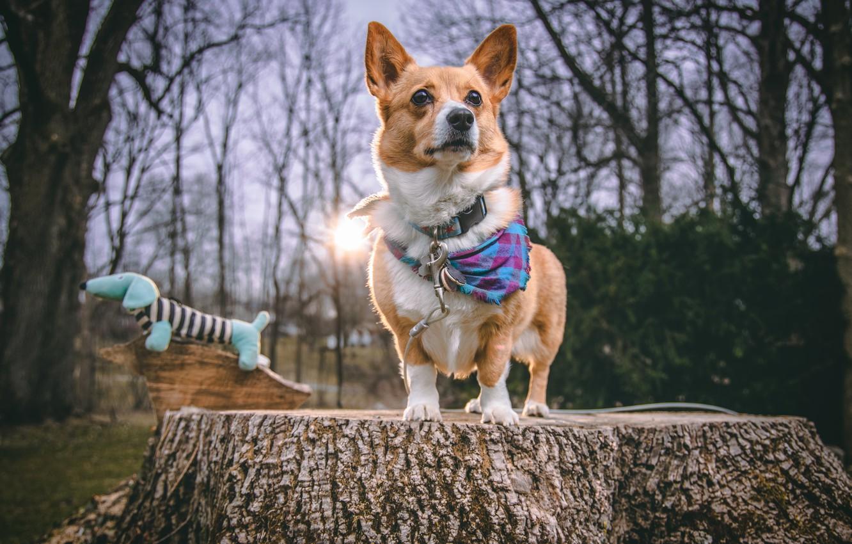 Фото обои пень, собака, корги