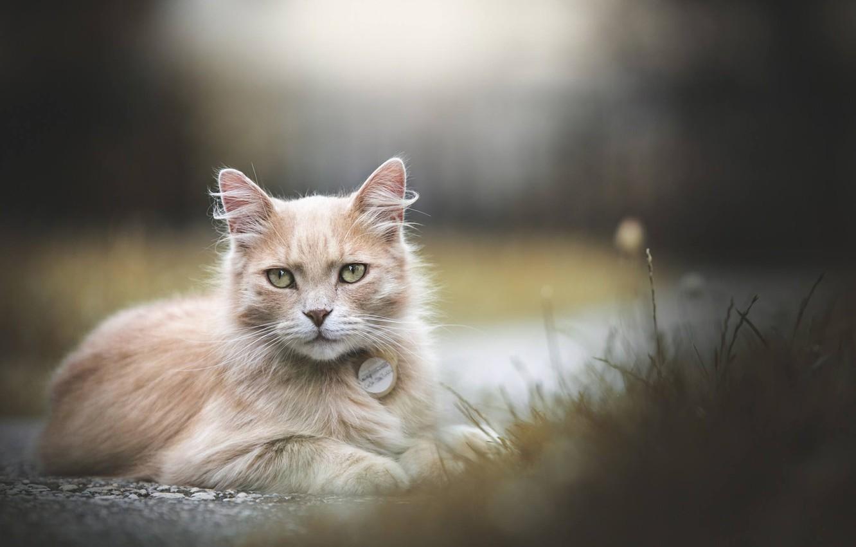 Фото обои кошка, кот, взгляд, боке