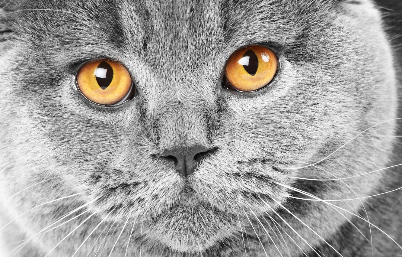 Фото обои кошка, глаза, кот, усы, морда, шерсть, нос