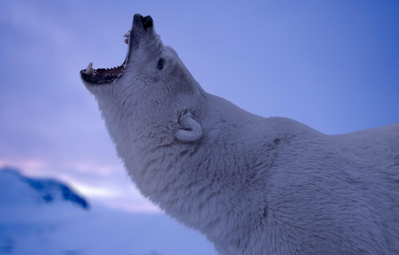 Фото обои ice, cold, Polar Bear, antarctica, blue & white