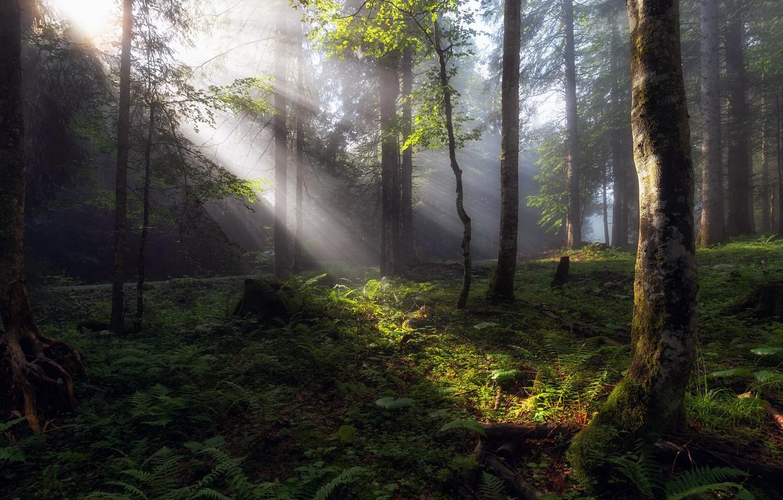 Фото обои лес, лето, свет, утро