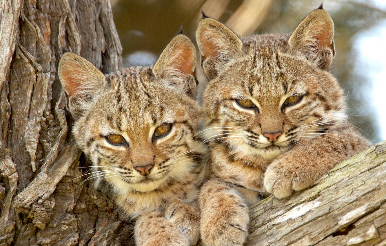 Обои котята, Рысь, детёныши, дикая кошка. Кошки foto 9